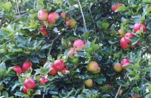 Szép termésű Gyümölcsfák